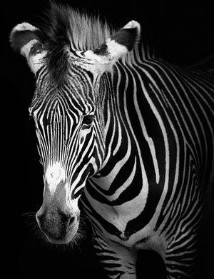 AdobeStock_271350248_BW_Zebra