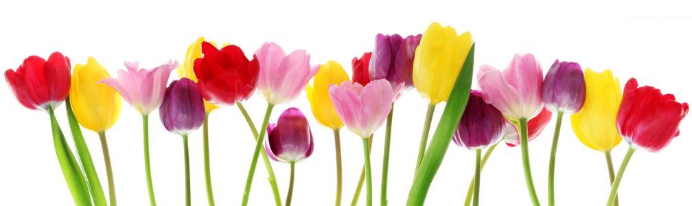 AdobeStock_29490982_Tulips